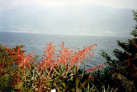 lago Maggiore Brissago Inseln: eine wahre Blütenpracht, im Hintergrund die mächtigen Alpen und dazwischen der See... Was will man mehr? Ein Ferienhaus mit Seeblick!