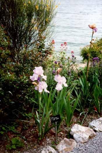 Orchideen am Ufer der Brissago Insel