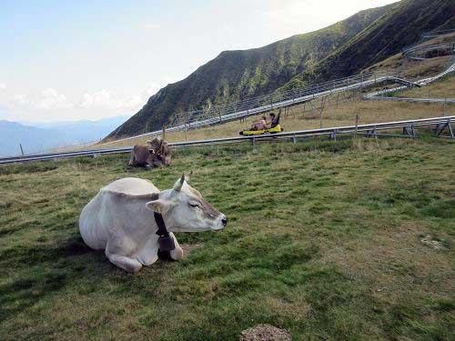 Kühe neben Rodelbahn