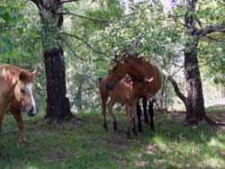 Pferde, Monti di Pino