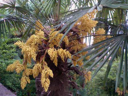 Palmenblüten
