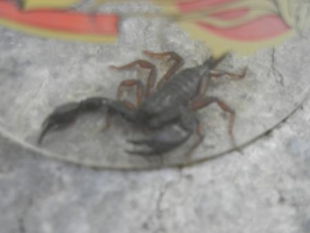 Skorpion Lago Maggiore